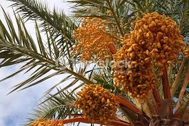 Palm Tree With Orange Fruit By Bougainvillea Hedge Outdoors On Palm Tree Orange Fruit