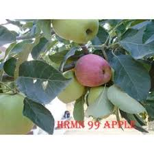 Low Chill Hot Areas Anna Apple Plant At Rs 350 Plant