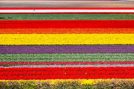 Image result for Tulip Fields, Netherlands