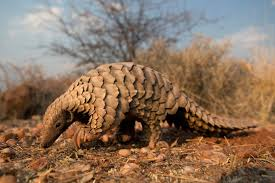 The Plight Of The Pangolin The Catch Me If You Can