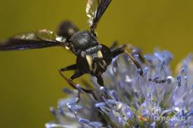 Thick Headed Fly #1 Photograph by Aubrey Moat