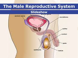 <b>Male Reproductive</b> System (for Teens) - Nemours KidsHealth