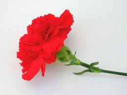 Resultado de imagen de claveles rojos