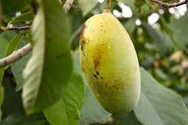 Pawpaws Are A Fleeting Autumn Gift So Donu0027t Miss This Unique What Fruit Trees Grow In Michigan
