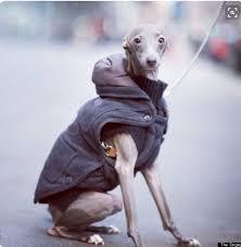 Milk Pepper Coat. Photography The Dogist Italian Greyhound.