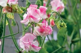 Выращиваем <b>душистый горошек</b> - Вестник цветовода