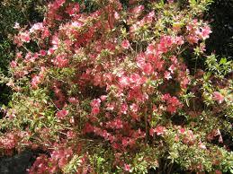 Mclarens NurseriesShrub With Pink Flowers