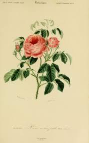 Gravures Couleur De Fleurs Gravure De Fleur 0155 Rose A Cent Fleurs Dessin Rose CouleurL