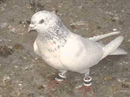 russian high flyer pigeons for sale pigeon high flyer youtube