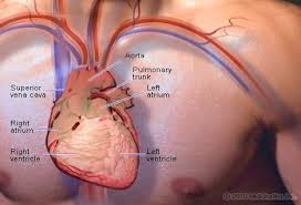 Three vex sync plates are located on the left, middle (in front of the doorway), and right of this area. Ilustration Picture Of Anatomical Structures Heart