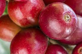 Coffee fruit extract is a useful supplement to add to your brain hacking toolbox. Coffee Fruit 2014 12 10 Prepared Foods