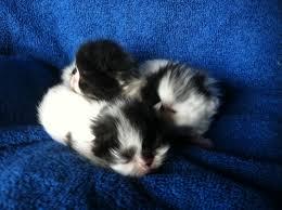 black and white kittens for sale. Brilliant Black Buffalo Creek Farms Black And White Van Persian Kitten With Black And White Kittens For Sale T