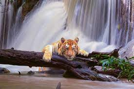 My Wild Cats Lion & Tiger HD Wallpapers ...