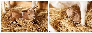 nigerian dwarf goats goat yoga