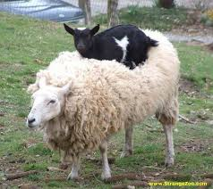 Image result for free funny image of goat and vehicles