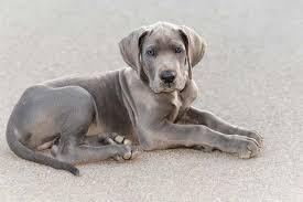 Great Dane Size Chart Great Dane Dog Breed Information