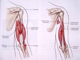diagram of tendons left arm not lossing wiring diagram • arm tendon anatomy muscle anatomy news anatomy human body tendons in forearm diagram upper arm tendon