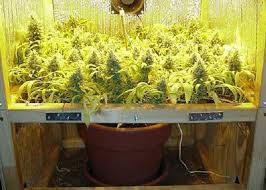 aerogarden weed harvest. quick guide to marijuana training techniques | . aerogarden weed harvest r