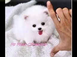 teacup pomeranian puppies for sale. Unique For Throughout Teacup Pomeranian Puppies For Sale