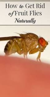 Fruit Flies BE GONE 5 ways to eliminate fruit flies