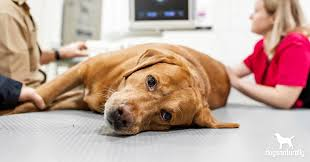 the truth about hemangiosarcoma in dogs