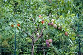 Apple Triple Grafted Pacific Rose Royal Gala Granny Smith PB18 Triple Grafted Fruit Trees