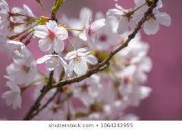 anese sakura blossom