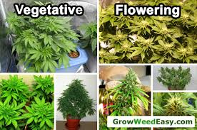 Cannabis Light Schedules Vegetative Vs Flowering Stage