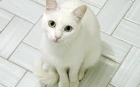 「白猫」の画像検索結果