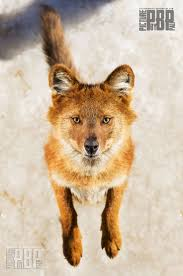 Small Picture 91 best dholes and dingoes images on Pinterest Wild dogs