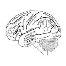 Small Picture Nervous System Coloring Pages human brain anatomy coloring pages
