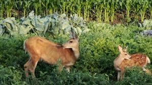 deer in the vegetable garden