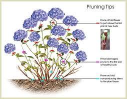 Hydrangea Pruning Tips Pruning Hydrangeas Plants