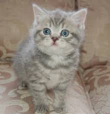 the british shorthair has bee a force to be reckoned with on show bench having been recognized as a breed in may 1980 they are now beautiful