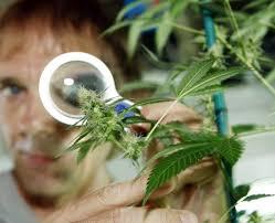 legalization of medical marijuana essay legalization of marijuana essay persuasive essay on legalizing marijuana persuasive essay on legalizing weed legalize weed