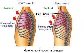 Cara melatih pernapasan perut posisikan badan pada posisi berdiri atau posisi duduk, kemudian tegakkan punggung dan sedikit angkat dagu. Mekanisme Pernapasan Pada Manusia Science Booth