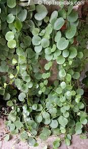cissus rotundifolia arabian wax leaf to see full size image