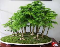 office bonsai. 20 Juniper Bonsai Tree Seeds Potted Flowers Office Purify The Air Absorb Harmful Gases Free B