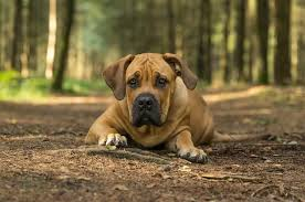 Boerboel Dog What You Should Know About South African