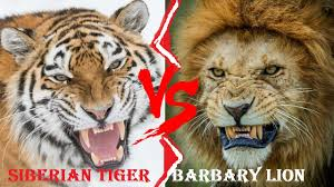 Barbary Lion VS Siberian Tiger - Barbary Lion VS Siberian Tiger Who Would  Win - YouTube