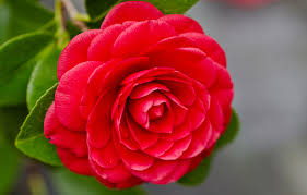 history and meaning of camelia natural flower camellia flower meaning in urdu flowers ideas camellia flower anese meaning flowers ideas