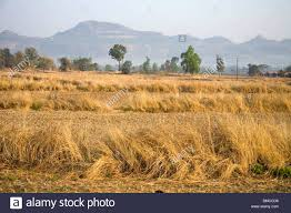 dry grass field background. Dry Grass Of Wheat Crop Mountain Range In Background ; Karjat Maharashtra India Field /