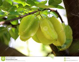 green apple fruit tree. apple carambola fruit green star tree r