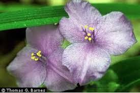 Plants Profile for Tradescantia virginiana (Virginia spiderwort)