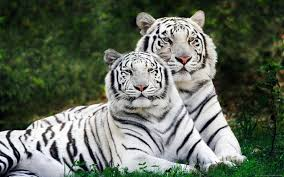223 white tiger hd wallpapers backgrounds wallpaper abyss