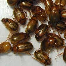 Agpest Grass Grub Brown Beetle Adult