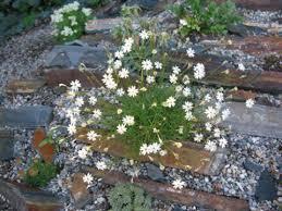 Silene saxifraga | North American Rock Garden Society