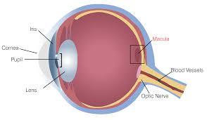 diagram of macular degeneration in eye