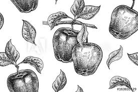 realistic apple tree drawing. Beautiful Apple Realistic Fruit Branch And Apple Tree Leaf Black White Vegetarian On Apple Tree Drawing E