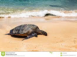 Close View Of Sea Turtle Resting On Laniakea Beach On A